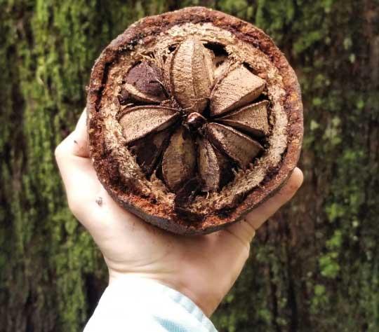 brazil-nuts-coconuts-peru